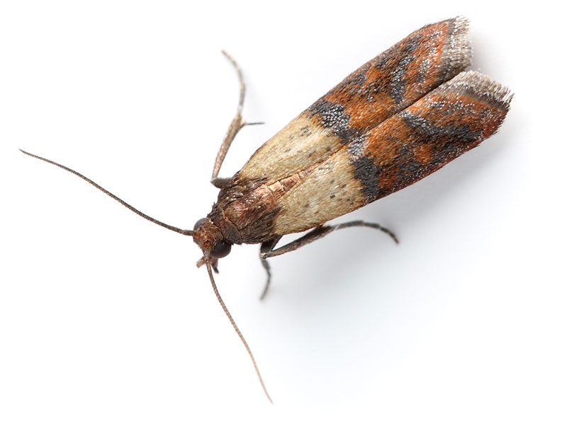 how to get rid of clothes moths infestation