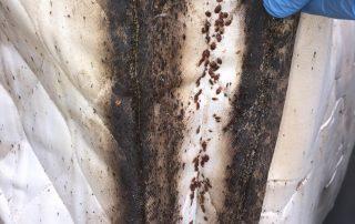 Bed Bug Insfestation